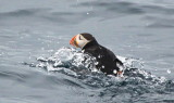 Atlantic Puffin fishing off Witless Bay Eco Reserve