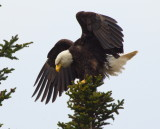 Eagle landing in Gros Morne Newfoundland