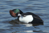 104:365Cross Bred Duck