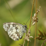 12 ~ Marbled White butterfly