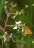 180:365Small Skipper Butterfly
