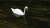 266:365Mute Swan Swimming
