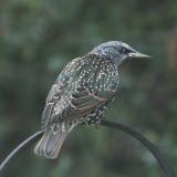 364:365Eurasian Starling perched