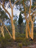 Enchanted Forest - The Pilliga