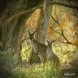 Eastern Grey Kangaroos (Macropus giganteus)