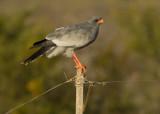 Southern pale chanting Goshawk (Melierax canorus)