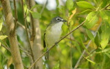 Blue-headed vireo -Vireo solitarius
