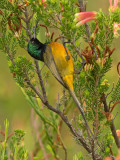 Orange-breasted Sunbird, Anthobaphes violacea