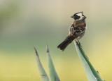 Cape Sparrow - Passer melanurus