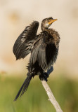 Reed Cormorant (Microcarbo africanus)