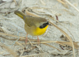 Common Yellowthroat - Geothlypus trichas
