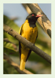 Black-hooded Oriole -Oriolus xanthornus