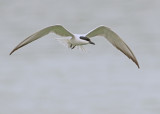 Gull-billed Tern -Gelochelidon nilotica