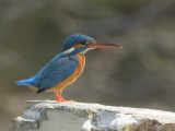 Kingfisher - Alcedo athis taprobana