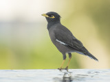 Indian Myna (Acridotheres tristis)