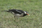 Asian pied starling -Gracupica contra