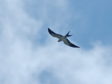 Swallow-tailed Kite (Elanoides forficatus)