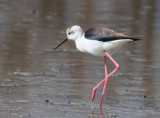 Himantopus himantopus Black winged Stilt