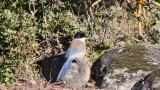 Azure-winged magpie -Cyanopica cyanus