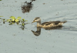 Cotton Pygmy Goose or Cotton Teal (Nettapus coromandelianus)