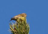 Citril finch (Carduelis citrinella)