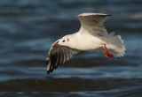 Black Headed Gull -  Chroicocephalus ridibundus