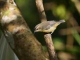 Bananaquit - Coereba flaveola intermedia