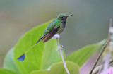 White-booted racket-tail (Ocreatus underwoodii)