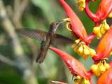 Bronzy inca (Coeligena coeligena)
