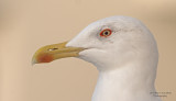 Yellow Legged Gull - Larus michahellis