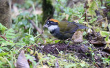 Chestnut-capped brush finch (Arremon brunneinucha)