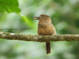 Barred puffbird (Nystalus radiatus)