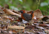 Rufous-breasted Antthrush (Formicarius rufipectus)