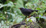 Slaty-backed nightingale-thrush - Catharus fuscater