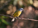 Blue-and-yellow Tanager Pipraeidea bonariensis