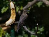 Shiny cowbird (Molothrus bonariensis)
