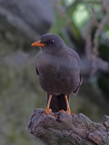 Great thrush - Turdus fuscater