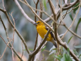Golden Grosbeak - Pheucticus chrysogaster