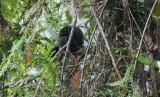 Andean guan (Penelope montagnii)
