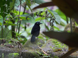 Zeledon's Antbird Hafferia zeledoni