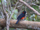 Scarlet-bellied Mountain-Tanager Anisognathus igniventris