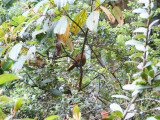 Rufous wren (Cinnycerthia unirufa)