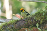 Flame-faced Tanager (Tangara parzudakii)