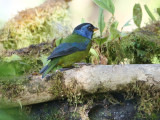 Moss-backed Tanager Bangsia edwardsi
