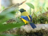 Black-chinned mountain tanager (Anisognathus notabilis)
