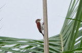Scarlet-backed woodpecker (Veniliornis callonotus)