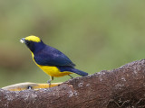 Thick-billed euphonia (Euphonia laniirostris)