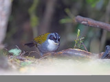 Grey-browed brush finch (Arremon assimilis)