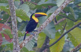 Chestnut-mandibled Toucan (Ramphastos swainsoni)