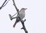 Streaked flycatcher (Myiodynastes maculatus)